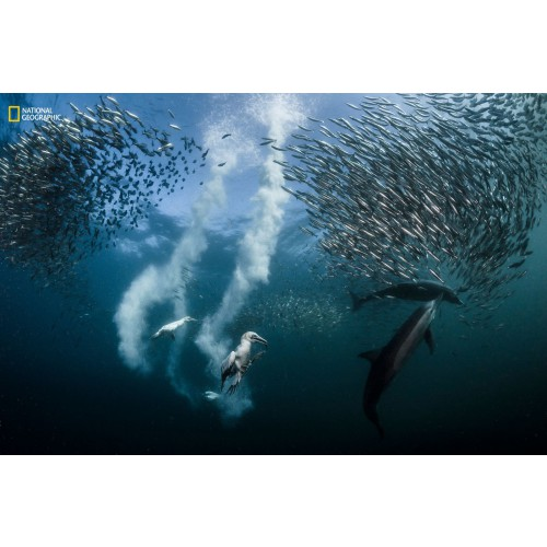 Greg Lecoeur (Ницца, Франция) ″Бегство сардин″.  Победитель конкурса 2016 National Geographic Nature Photographer of the Year